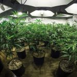 Cannabis industry workers need better training: study